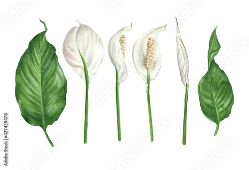 Fototapeta Watercolor illustration of spathiphyllum flowers, buds and leaves. Peace lily floral design elements set. obraz