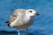 Portrait Of Young European Herring Gull On A Beach