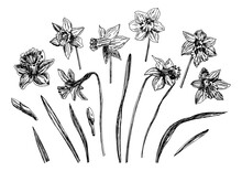 Vector Illustrations Of Narcissus Drawn With A Black Line On A White Background.