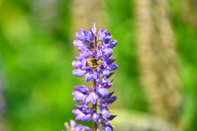 Bee Collects Pollen From Lupinus Polyphyllus Flower