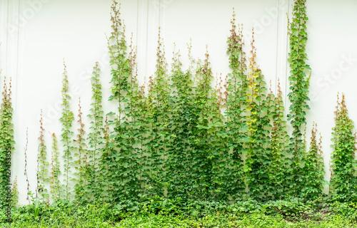 Canvastavla ivy isolated on a white background.