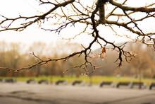Gałąź W Kroplach Wiosennego Deszczu Na Tle ławek W Parku