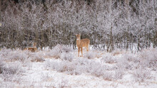 Deer In A Frost-covered Grassy Field