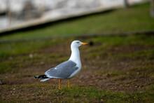 Closeup Shot Of A Seagull Walking On A Grass