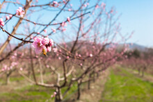 A Bee Pollinates A Flowering Fruit Tree On A Sunny Spring Day.