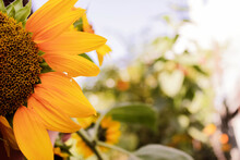 Sunflower In A Pot, Yellow Flower Background With Copyspace