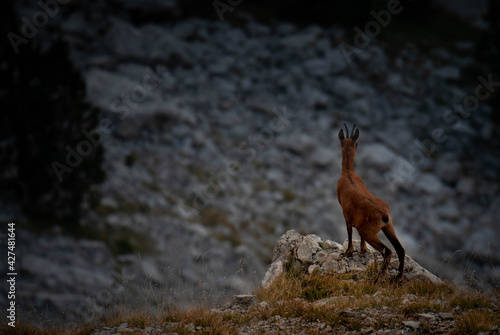 Fotografie, Tablou cervido rebeco cabra salvaje espaldas