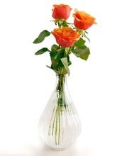 Pretty Orange Roses Isolated Close Up