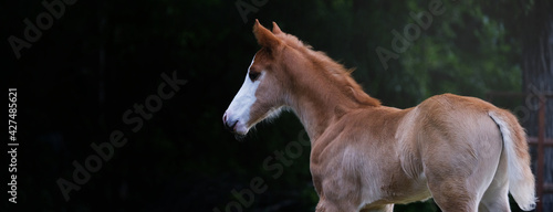 Fotografie, Obraz Young colt shows foal horse isolated on black banner background.