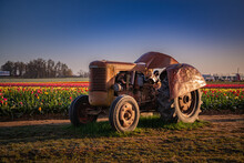 Old Tractor In Field Of Tulips