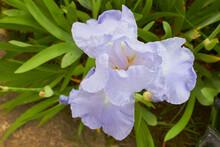 Iris Flower Top View,bloomed Light Blue Iris Flower In The Garden