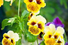 Pansy Flower Closeup. Nature Macro Photography. Beautiful Pansies. Summer Garden.