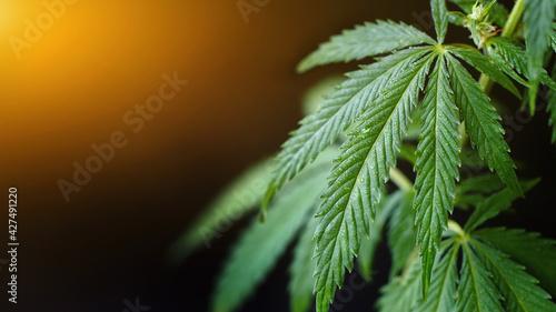 Fényképezés Green cannabis leaf with dew drops on dark background with sunbeam