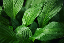 Beautiful Large Leaves Of Hosta In A Dark Tint. Bright Green Foliage Close-up In A Spring Garden After Rain. Dew Drops On Plants. Natural Background
