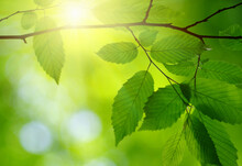 Sun In The Green Leaves.