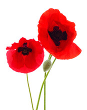Two Poppy Flowers.