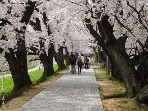 Fototapeta 桜が咲く淀川河川公園背割堤地区(京都府八幡市で2021年3月撮影) obraz