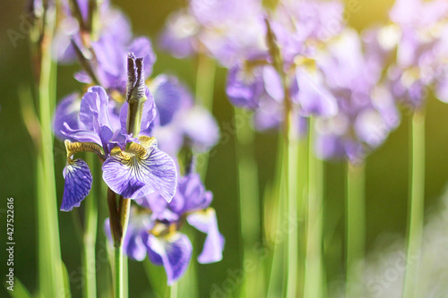 Foto blooming purple iris flowers in the summer garden in the sun