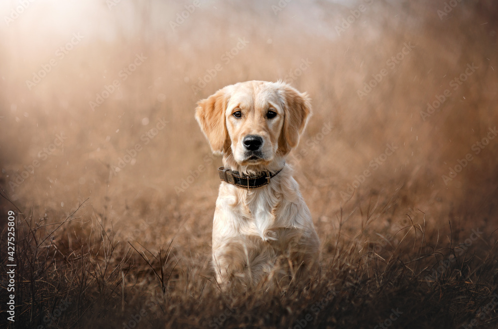 Fotografie, Obraz portrait of golden retriever dog puppy on natural background