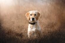 Portrait Of Golden Retriever Dog Puppy On Natural Background