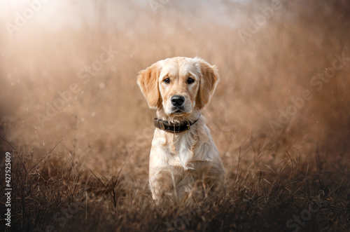 portrait of golden retriever dog puppy on natural background  - fototapety na wymiar