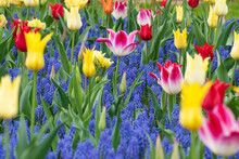 Colorful Tulips And Muscari. Flowers That Bloom In Spring.