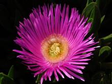 Elands Sourfig Or Pig Face Or Ice Plant Or Carpobrotus Or Mesembryanthemum Acinaciformis Flowers, Near The Sea Shore In Attica, Greece