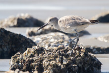 Willet On A Shell Covered Rock On The Beach.