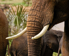 Wrinkled Trunk And Ivory Tusks (one Damaged Or Deformed) Of A Wild African Elephant