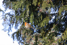 Cute Robin Perched On A Spruce