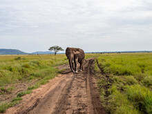 Serengeti National Park, Tanzania, Africa - February 29, 2020: African Elephant Walking Down The Dirt Path Of Serengeti National Park
