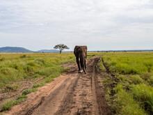 Serengeti National Park, Tanzania, Africa - February 29, 2020: African Elephant Walking Down The Dirt Path Of Serengeti National Park