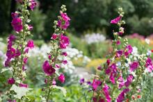 Multiple Deep Pink Or Magenta Hollyhocks Or Alcea Flowers In A Garden