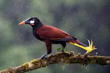 Montezuma Oropendola (Gymnostinops Montezuma) Perched On A Tree Branch, Heredia Province, Costa Rica