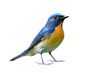 fascinated blue bird with orange chest to belly fully standing details from head to tail, chinese blue flycatcher