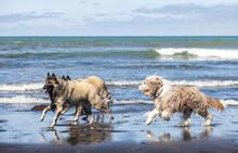 Belgium Shepherd Tervuren And Brown Bearded Collie  Running And Having Fun At The Beach