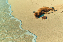 Baby Seal Sea Lion Beach Sand Ocean Water Galapagos Islands Santa Cruz