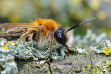 Closeup Shot Of A Grey-patched Mining Bee On Lichen-covered Wood