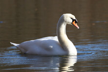 Beautiful Mute Swan(Cygnus Olor) Swimming On The Lake