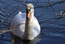 Front View Of A Mute Swan(Cygnus Olor) Swimming On The Lake