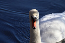 Closeup Shot Of A Mute Swan(Cygnus Olor) Head In The Blue Background