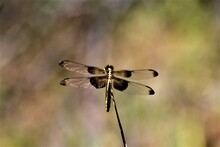 Female Widow Skimmer (Libellula Luctuosa) Perched On Grass Stalk