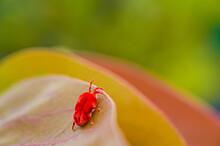 Red Velvet Bug On Leaf