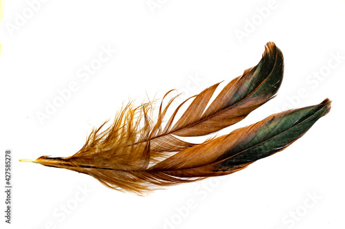 Cuadros en Lienzo black and brown feathers of a rooster on a white isolated background