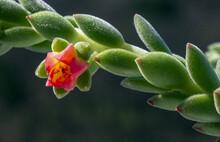 Closeup Of A Blooming Echeveria Plant
