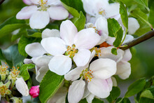 Beautiful Freshness Apple Buds Bouquet Flowers Blossom In Spring Season With Background Greeen Leaves. Nature Sweet Moment.