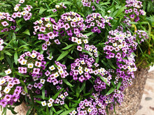 A Bush Of White And Violet Lobularia Maritima Flowers.