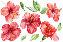 Tropical Summer Exotic Flowers. Watercolor Drawn Hibiscus On Isolated White Background