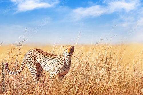 Fotografie, Obraz Cheetah in the African savannah