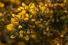 Closeup Shot Of Gorse European Flowers